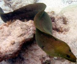 green moray eel- olypus sp-350 by Andrew Kubica